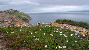kuva kalliosta jolla kasvaa kukkia