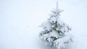 Lumen peittämä kuusi