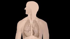 Keuhkojen anatomiaa