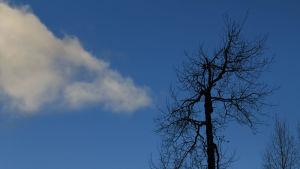 Vanha lehdetön puu