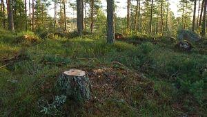 En stubbe i skogen vid spånbanan i Karis.