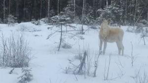 En vit älg i snöklädd terräng.