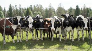 Kuvassa lehmiä seisoo sähköaidan toisella puolella katsoen suoraan eteenpäin.