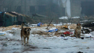 Hemlösa hundar utanför hundgård i Viborg.