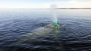 Knölvalen Lotta fastnade i en sikryssja utanför Bergö.