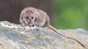 Rotta syö jyviä