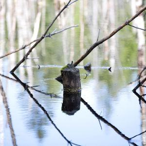 Kauan sitten poikki järsitty puu törröttää majava-altaasta