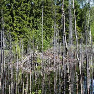 Majavan pesä pilkistää kuolleiden puiden seasta.