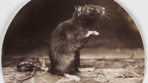 mustarotta vanhassa englantilaisessa mustavalkokuvassa