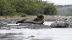 Ungavan hylje makaa kivellä Kanadassa