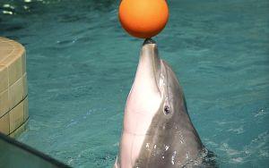 Delfin spelar korgboll