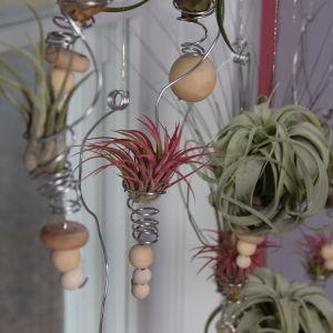 Olika typer av tillandsia hänger i amplar i ett fönster.