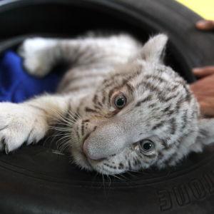 Unge av bengalisk tiger på djurgård i Peru