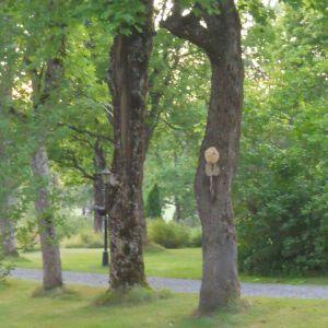Sture Renlund har på gården en 100-årig lönn med ett hål som började fyllas av nån typ av vax eller något annat halt. Han undrar vad detta är för fenomen.