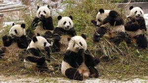 Jättepandor i Sichuanprovinsen i Kina år 2005.