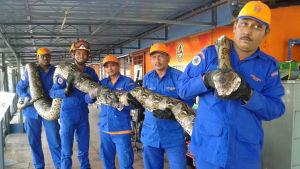 Pytonormen är åtta meter lång och väger 250 kilogram.