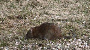 Närbild av en råtta, fotograferad i Österby i Ekenäs.