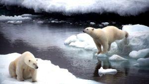 Två isbjörnar i Alaska