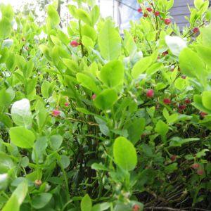 Blommande blåbär.