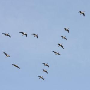 Lentävät metsähanhet