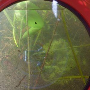 Vattenväxtlighet genom en vatten kikare