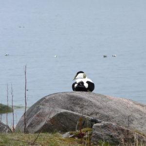 En ejder på en klippa på Bengtskär.