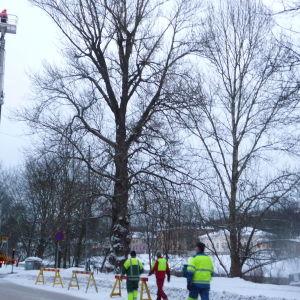 Tsarpopplar fälls i Åbo centrum.