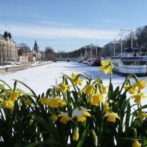 Narcisser på Teaterbron i Åbo våren 2010, då det ännu fanns is på Aura å.