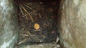 Kottaraisen pesä pöntössä poikasten lähdettyä.