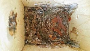 Kirjosiepon pesä pöntössä poikasten lähdettyä.