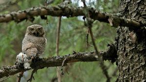 Varpuspöllö kuusen oksalla saaliinaan pikkulintu.