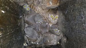 Varpuspöllö naaras pöntössä poikasten kanssa.