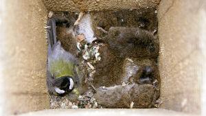 talitiainen on yöpymässä varpuspöllön pöntössä, johon pöllö on varastoinut kuolleita myyriä talveksi.