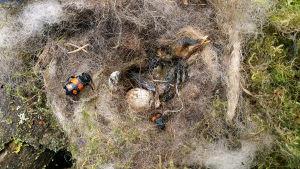 Pikkuturkkiloita pesään kuolleen linnunpoikasen raadolla.