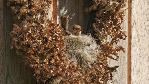 En gråflugsnapparhona ruvar i ett bo som är byggt i en krans av lav.