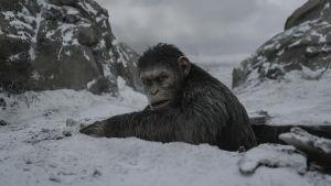 Caesar (Andy Serkis) har kommit upp ur ett hål i marken och ser sig omkring.