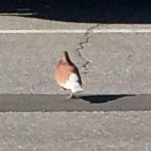 Frida Enlund och Carola Sundström såg denna fågel vanka omkring på Prismas parkering och förundrades över färgerna på fjäderdräkten. Vad är det för fågel undrar de.