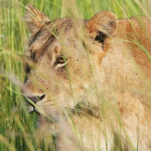 Lejonhona från nationalparken Murchison Falls i Uganda.