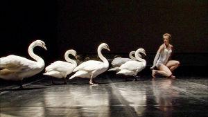 Joutsenia ja tanssija dokumentissa Tanssii joutsenien kanssa