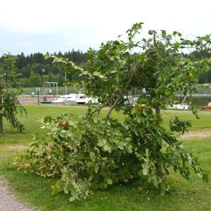 På bilden synns två almar som brutits av på mitten. I bakgrunden gräs samt båtar på Borgå å.
