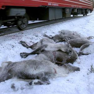 Renar som blivit påkörda av ett tåg 25.11.2017