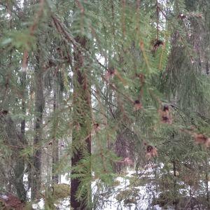 """Malin Björkman undrar vad är det fråga om när granen har såna här """"knoppar""""  Dom fanns bara på döda eller nästan döda kvistar."""