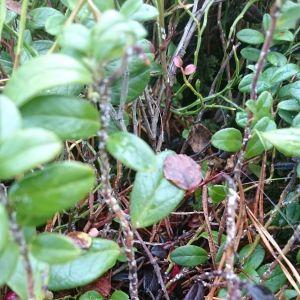 Vita prickar på lingonrisets stam