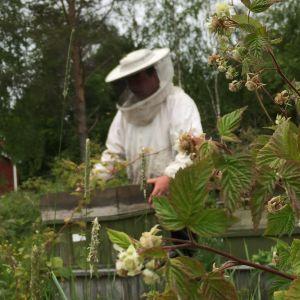 Biodlare med skyddsutrustning på öppnar bikupa.
