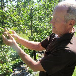 Rune Drockila i Pyttis, Kvarnby, inspekterar sina äppelträd