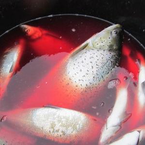 fisk i hink