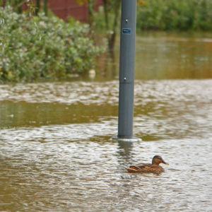 Änder simmar vid en översvämmad bollplan.
