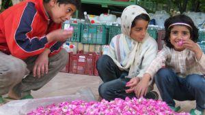 Lapset haistelevat ruusun terälehtiä ruusuvesitislaamon pihalla Iranin Ghamsarissa.
