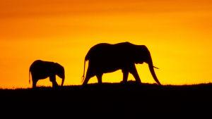 Norsu ja norsun poikanen