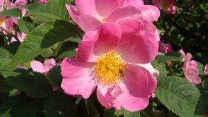 Rosa Complicata är också en Gallica ros alias Apotekarros.